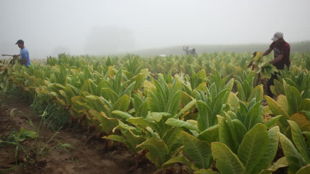 harvesting tobacco grown by tucker farms on a farm in shelbyville, kentucky, u.s., on friday, august 2, 2019. - tobacco crop stock videos & royalty-free footage