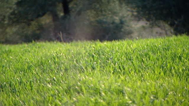 vídeos y material grabado en eventos de stock de hasbani river. on the blades of grass in a green meadow near the banks of the river which forms the border between lebanon and the golan heights. - hierba familia de la hierba