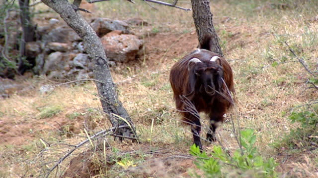 hasbaya, lebanon. a brown goat grazing on a steep hill among its herd. - steep hill stock videos & royalty-free footage
