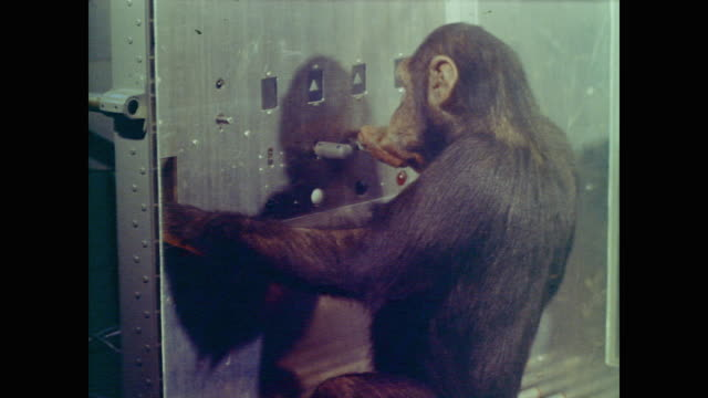 vídeos y material grabado en eventos de stock de hatch lifts and a chimpanzee enters a glass box, pressing the levers on the wall in a sequence to receive food from a slot - chimpancé