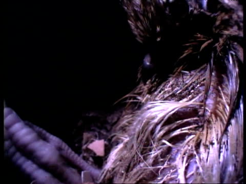 hatching mallee fowl chick struggles in nest mound - babyhood stock videos & royalty-free footage