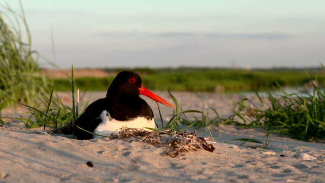 hatching oystercatcher - bird's nest stock videos & royalty-free footage