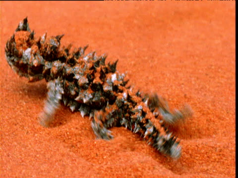 hatchling thorny devil lizard emerges from nest chamber in red sand, alice springs, australia - red rocks stock-videos und b-roll-filmmaterial