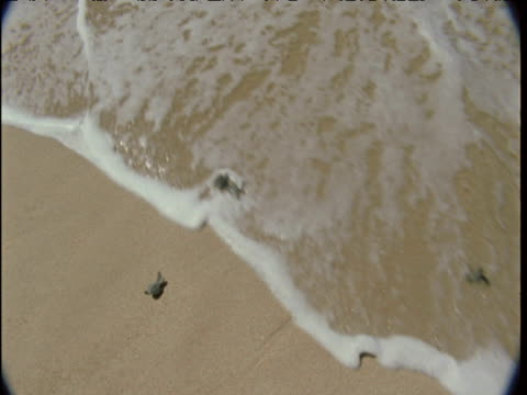 Hatchling turtles scamper down beach and into lapping waves, Bali