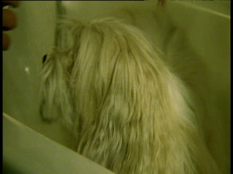 havanese dog being washed in salon - havanese stock videos & royalty-free footage