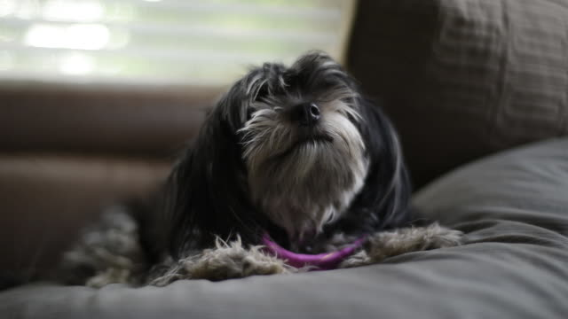 havanese dog on couch in living room - havanese stock videos & royalty-free footage
