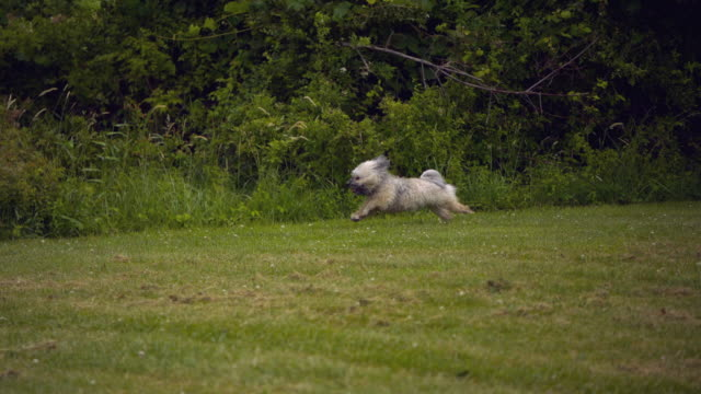ts ws slo mo havanese dog running on grass /  morristown , new jersey, usa - havanese stock videos & royalty-free footage