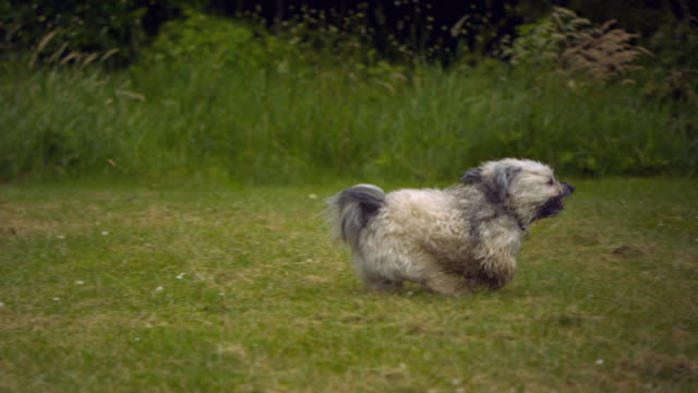 ts ms slo mo havanese dog running on grass / morristown , new jersey, usa - havanese stock videos & royalty-free footage