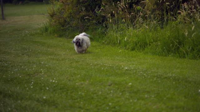 ts ws slo mo havanese dog running on grass running / morristown , new jersey, usa - havanese stock videos & royalty-free footage