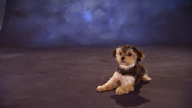 ws havanese sitting in front of backdrop / united states - havanese stock videos & royalty-free footage