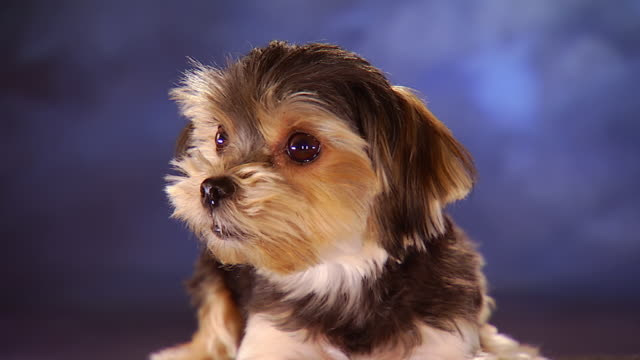 cu havanese sitting in front of backdrop / united states - havanese stock videos & royalty-free footage