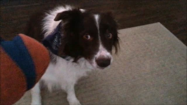 have you ever heard of a border collie that doesn't want the ball we have all seen videos or maybe know a border collie who is completely obsessed... - {{relatedsearchurl(carousel.phrase)}} stock-videos und b-roll-filmmaterial