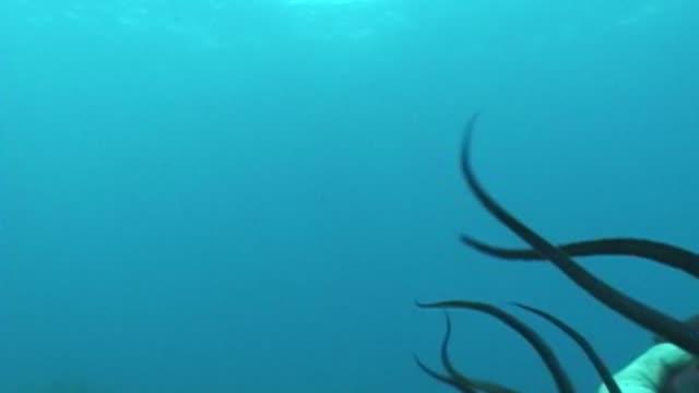 vídeos y material grabado en eventos de stock de hawaii marine life - pulpo
