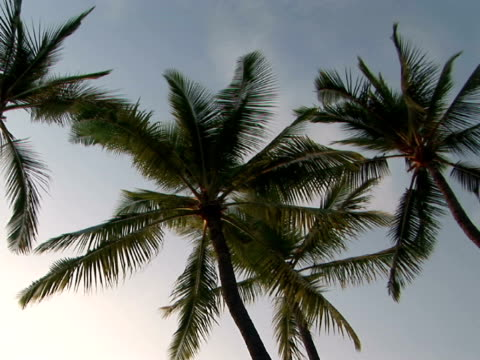 stockvideo's en b-roll-footage met ms, la usa, hawaii, the big island, hapuna beach state recreation area, palm trees against sky, high section - waaierpalm