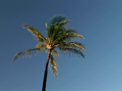 stockvideo's en b-roll-footage met ms, la usa, hawaii, the big island, hapuna beach state recreation area, single palm tree against clear sky, high section - waaierpalm