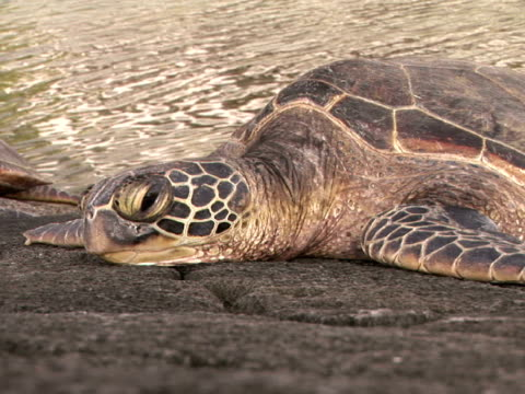 cu usa, hawaii, the big island, kailua-kona, keauhou bay, green sea turtle lying on boulder by water - turtle bay hawaii stock videos & royalty-free footage