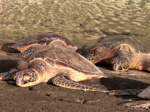 ZI, CU USA, Hawaii, The Big Island, Kailua-Kona, Keauhou Bay, Green Sea Turtles lying on boulder by water