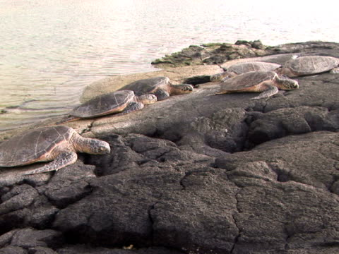 MS USA, Hawaii, The Big Island, Kailua-Kona, Keauhou Bay, Green Sea Turtles lying on boulder by water