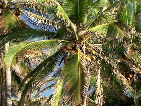 la, zi, cu usa, hawaii, the big island, punaluu black sand beach park, palm trees on seashore - fan palm tree stock videos & royalty-free footage