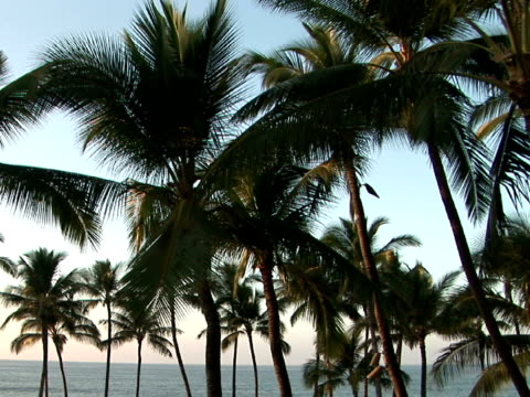 ms usa, hawaii, the big island, waialua bay, palm trees on beach - palma nana video stock e b–roll