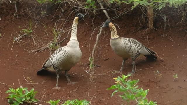 vídeos de stock e filmes b-roll de hawaiian geese (nene) courtship, hawaii - kauai
