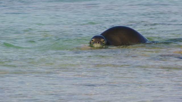 hawaiian monk seal, an endangered species of earless seal, swimming in the waters off midway atoll, part of papahanaumokuakea marine national monument. - swimming video stock e b–roll