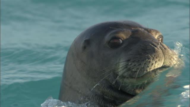 hawaiian monk seal (monachus schauinslandi) swims in shallows, hawaii - staring stock videos & royalty-free footage