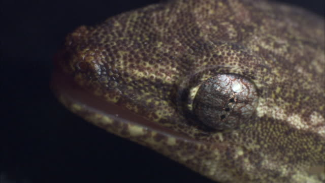 hawaiian mourning gecko licks its own eyeball. - mourning stock videos and b-roll footage