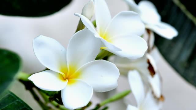 vídeos de stock, filmes e b-roll de plumeria flores havaianas - colar