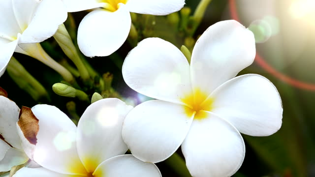 stockvideo's en b-roll-footage met hawaiian plumeria bloemen - hawaiiaanse etniciteit