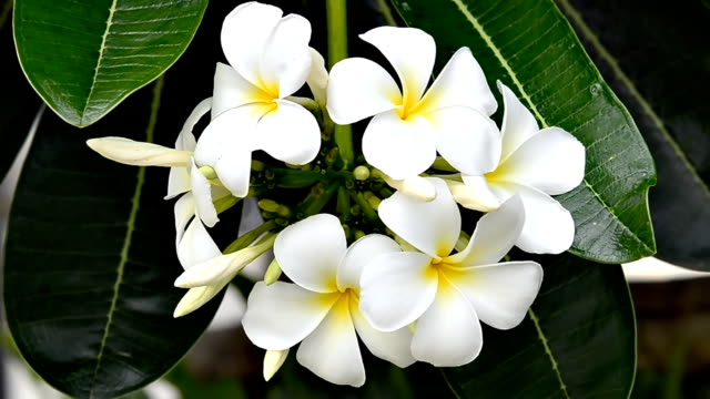 hawaiian plumeria flowers - tahiti stock videos & royalty-free footage