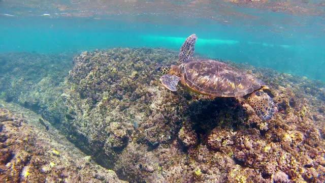 ms ts hawaiian sea turtle cruising reef off of west coast of oahu / haleiwa, hawaii, united states - vagare senza meta video stock e b–roll