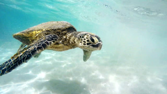 hawaiian sea turtle - hawaii islands stock videos & royalty-free footage
