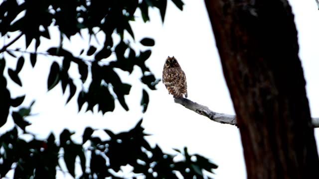 Hawaiian Short Eared Owl (Pueo)