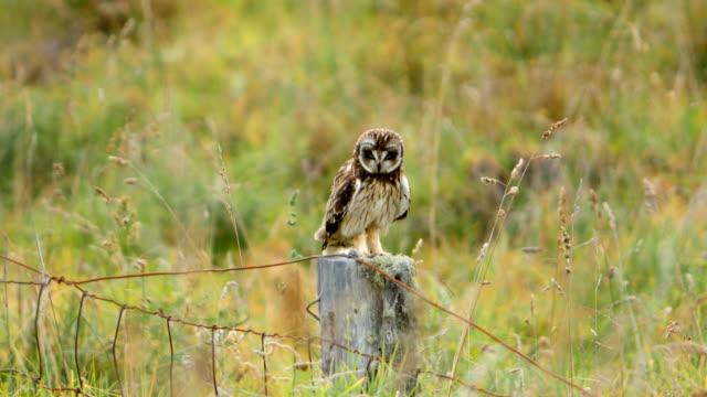 hawaiian kort eared owl (pueo) - klo bildbanksvideor och videomaterial från bakom kulisserna