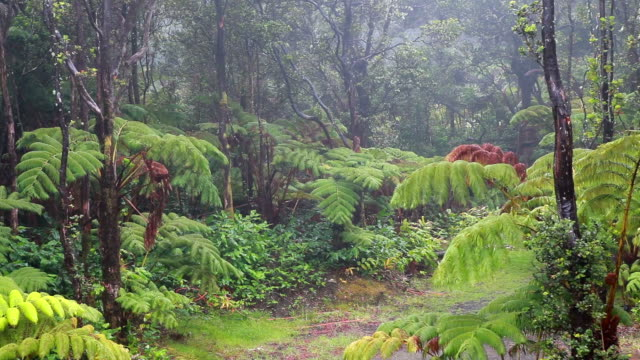 hawaiian tree ferns - cyathea cooperi - dicksonia antarctica stock videos & royalty-free footage
