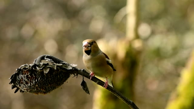 Hawfinch eating sunflower