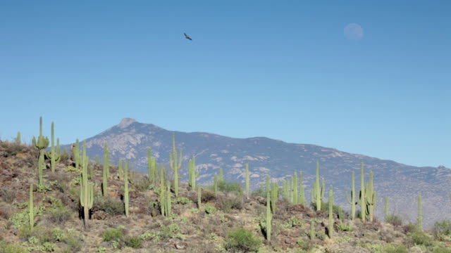 Hawk and moon over Saguaro National Park mountains Arizona