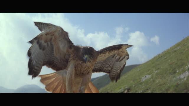 cu pov hawk balancing on horseback - hawk bird stock videos & royalty-free footage