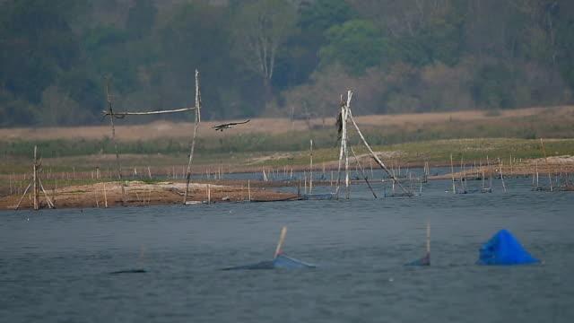 hawk catch fisch über der wasseroberfläche - tierkörper stock-videos und b-roll-filmmaterial