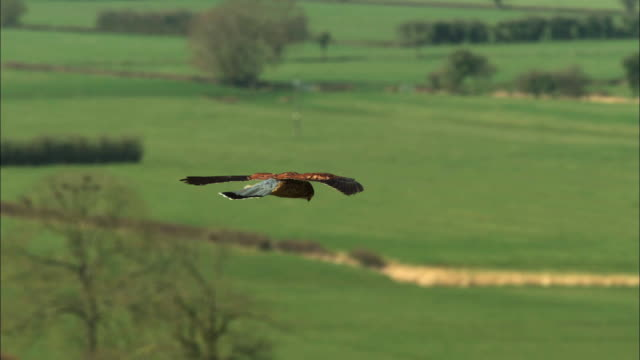 hawk catches a mouse - jagd stock-videos und b-roll-filmmaterial