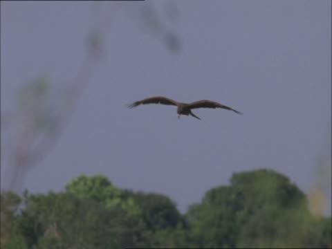 vídeos de stock e filmes b-roll de a hawk flaps its wings and soars near trees. - focagem difusa