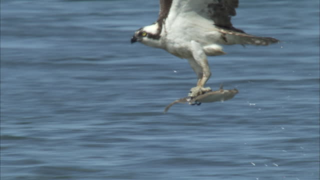 a hawk flies across water with a fish in its talons. - 鳥の鉤爪点の映像素材/bロール