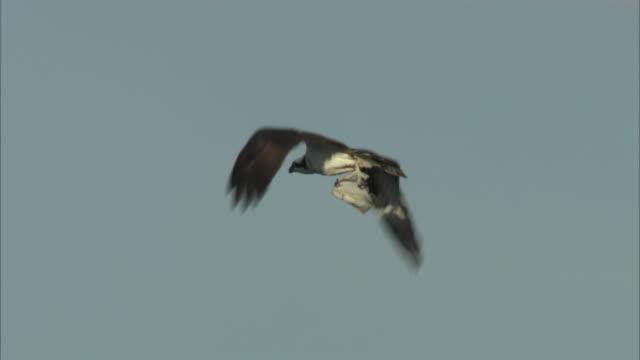 a hawk flies with a fish in its talons. - 鳥の鉤爪点の映像素材/bロール