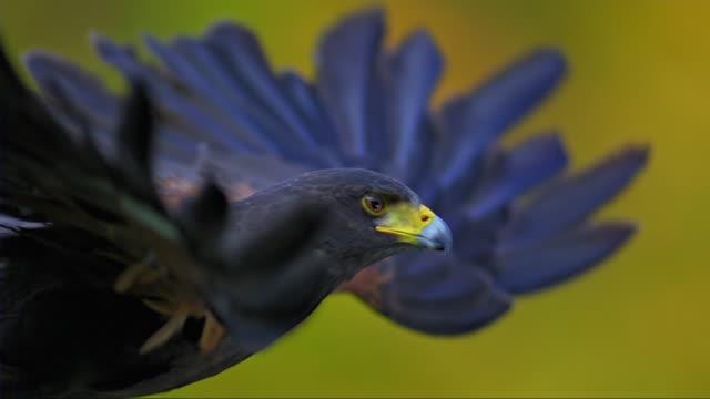 vidéos et rushes de slo mo of hawk flying away - plume