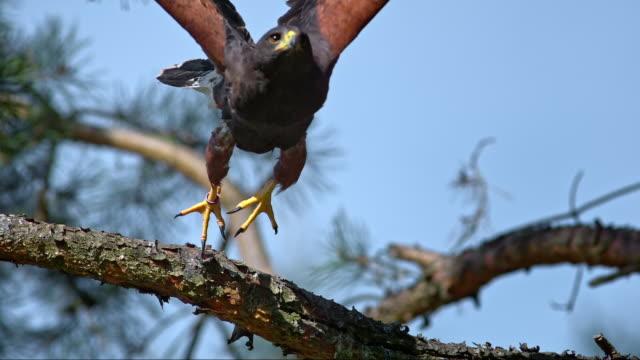 slo mo of hawk flying off a branch - hawk bird stock videos & royalty-free footage