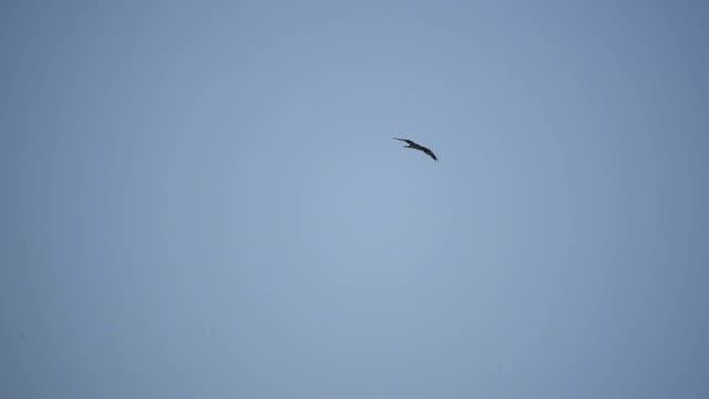 hawk flying on the sky - tierkörper stock-videos und b-roll-filmmaterial