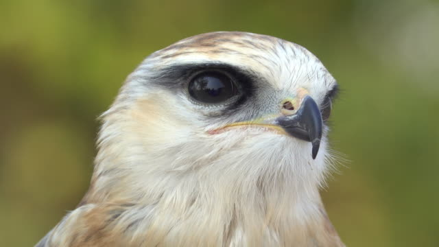 hawk head - falcon bird stock videos & royalty-free footage