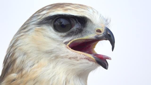 hawk head - bird of prey stock videos & royalty-free footage