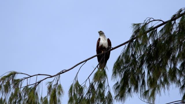 Hawk i träd tittar över axeln